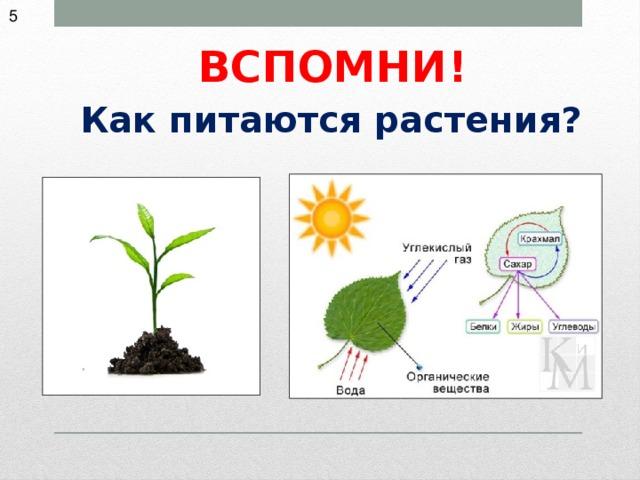 растения питаются картинки сазан