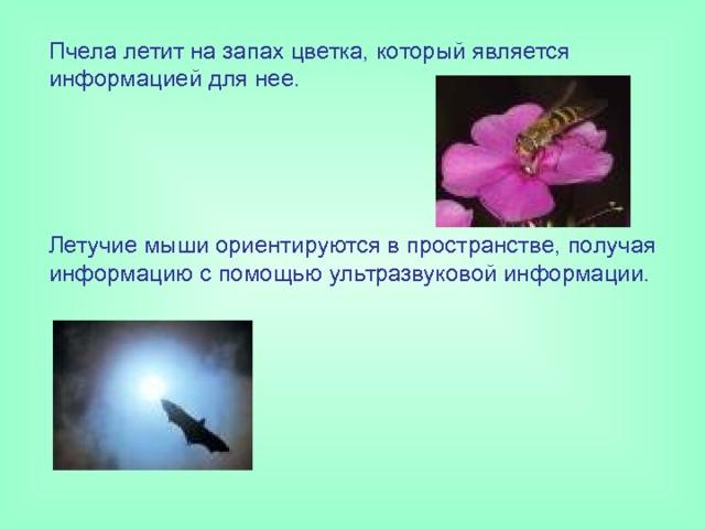 Пчела летит на запах цветка, который является информацией для нее. Летучие мыши ориентируются в пространстве, получая информацию с помощью ультразвуковой информации.