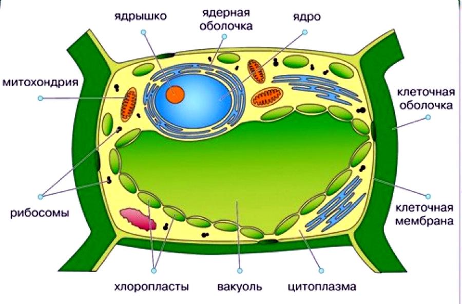 клетка растения названия небольшая кухня оборудована